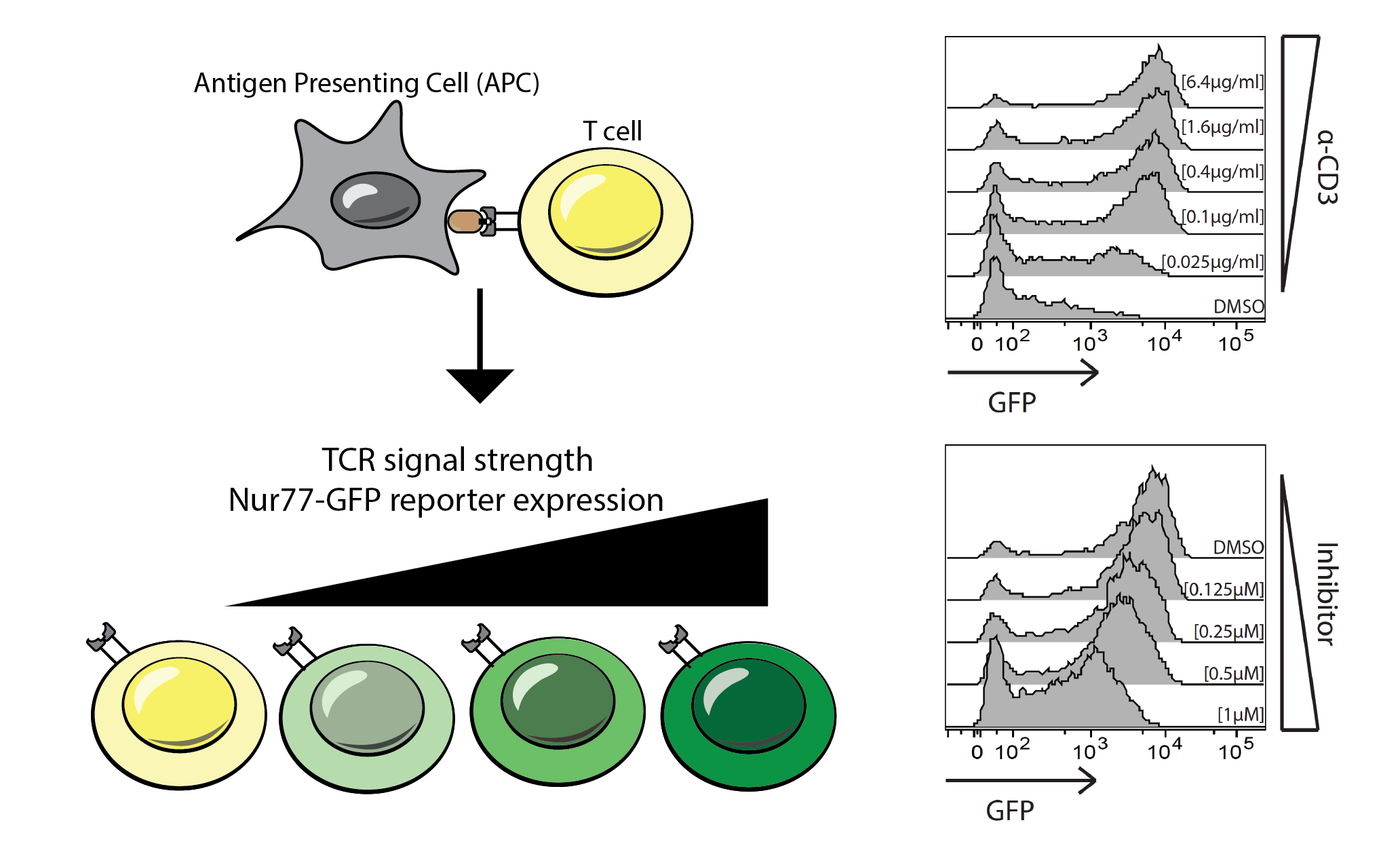 TCR signal strength Nur77-GFP reporter expression